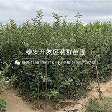 山东藤木一号苹果树苗、藤木一号苹果树苗价格及报价图片
