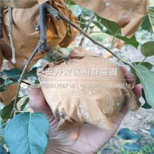 矮化M26蘋果苗出售、矮化M26蘋果苗價格及報價圖片