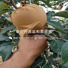 烟富3号苹果树苗出售价格、烟富3号苹果树苗报价及基地图片