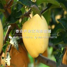 新品种苹果苗基地、新品种苹果苗价格及报价图片