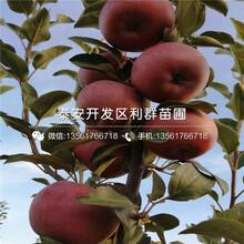 秦冠苹果树苗批发、秦冠苹果树苗价格图片