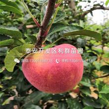 双矮苹果苗出售、双矮苹果苗价格图片