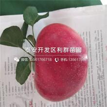 蛇果苹果苗、蛇果苹果苗每日报价图片