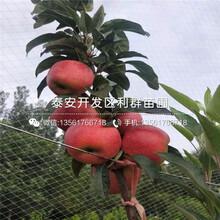 出售红肉苹果树苗、红肉苹果树苗价格图片