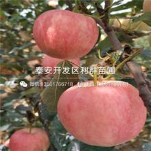 众成1号苹果苗品种、众成1号苹果苗新品种图片