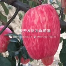 长富苹果苗批发、长富苹果苗价格图片