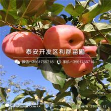 山东长富苹果苗、山东长富苹果苗价格及报价图片
