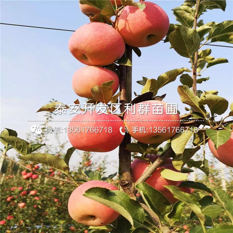 山東煙富3號蘋果苗、山東煙富3號蘋果苗價格
