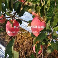 短枝红富士苹果苗报价、2020年短枝红富士苹果苗价格