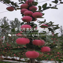 嘎啦苹果树苗价格、嘎啦苹果树苗基地图片