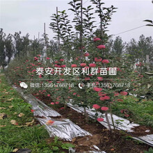 花牛苹果树苗、花牛苹果树苗每日报价图片