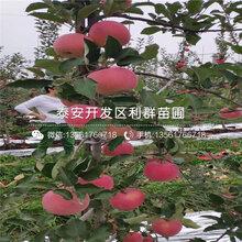 鲁丽苹果树苗、鲁丽苹果树苗价格多少