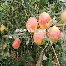 蛇果苹果苗基地及报价图片