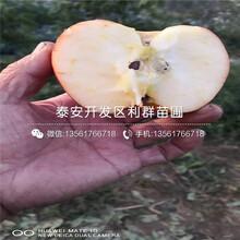 5公分雞心果樹苗、5公分雞心果樹苗價格圖片