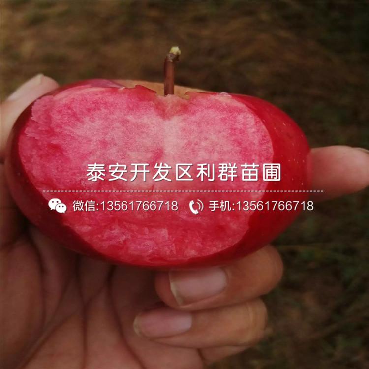 哪里有小国光苹果苗批发、今年小国光苹果苗价格是多少