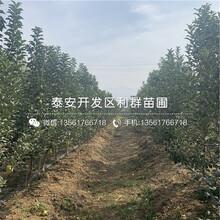 山东hff63苹果苗、hff63苹果苗价格及基地图片