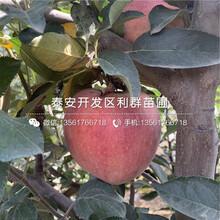 5公分潤太一號柱狀蘋果樹苗、5公分潤太一號柱狀蘋果樹苗價格及報價圖片