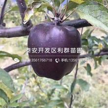 神富六号苹果苗价格、神富六号苹果苗多少钱一棵图片