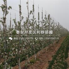 美國八號蘋果樹苗出售、美國八號蘋果樹苗價格及報價圖片