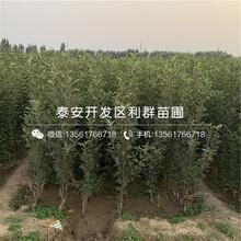 小國光蘋果樹苗批發、小國光蘋果樹苗價格圖片