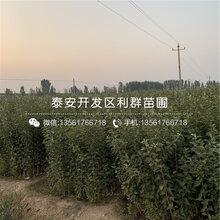 蛇果苹果苗批发价格、蛇果苹果苗多少钱一棵