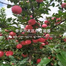 大国光苹果苗批发、大国光苹果苗多少钱一棵图片