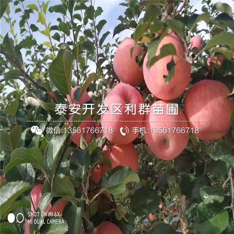 眾成一號蘋果苗品種、眾成一號蘋果苗新品種