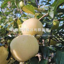矮化m26苹果苗批发、矮化m26苹果苗价格及报价图片