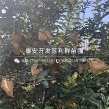 短枝矮化苹果树苗报价、短枝矮化苹果树苗价格图片