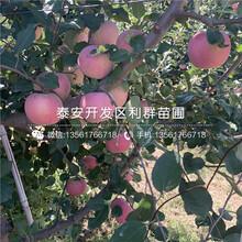短枝苹果树苗、短枝苹果树苗每日报价图片