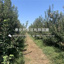 华冠苹果苗、华冠苹果苗出售价格图片