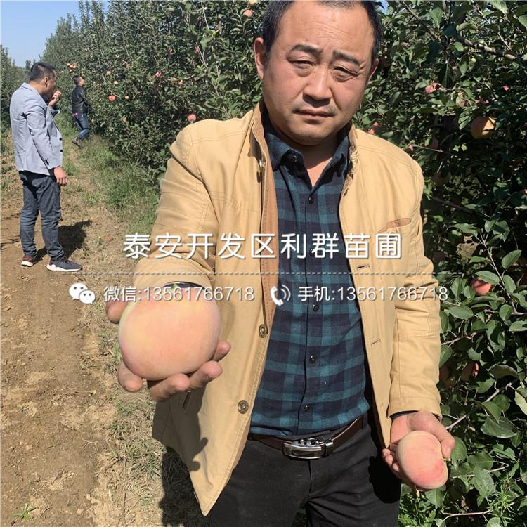 hff63苹果苗新品种、hff63苹果苗价格及报价