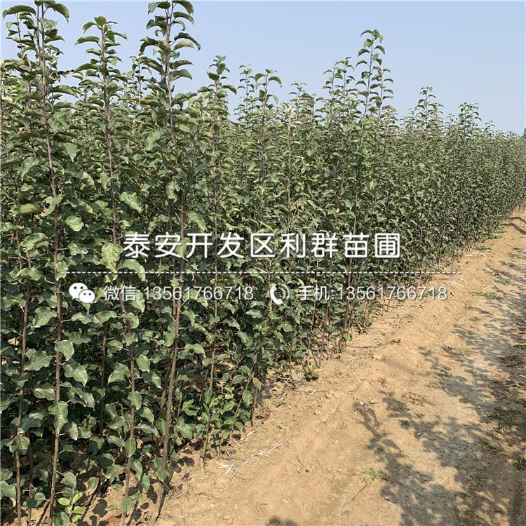 大國光蘋果樹苗、大國光蘋果樹苗批發價格