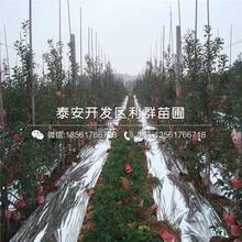 藤木一号苹果树苗、藤木一号苹果树苗出售价格图片