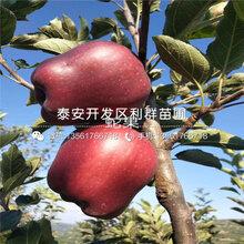 出售烟富苹果树苗、烟富苹果树苗价格