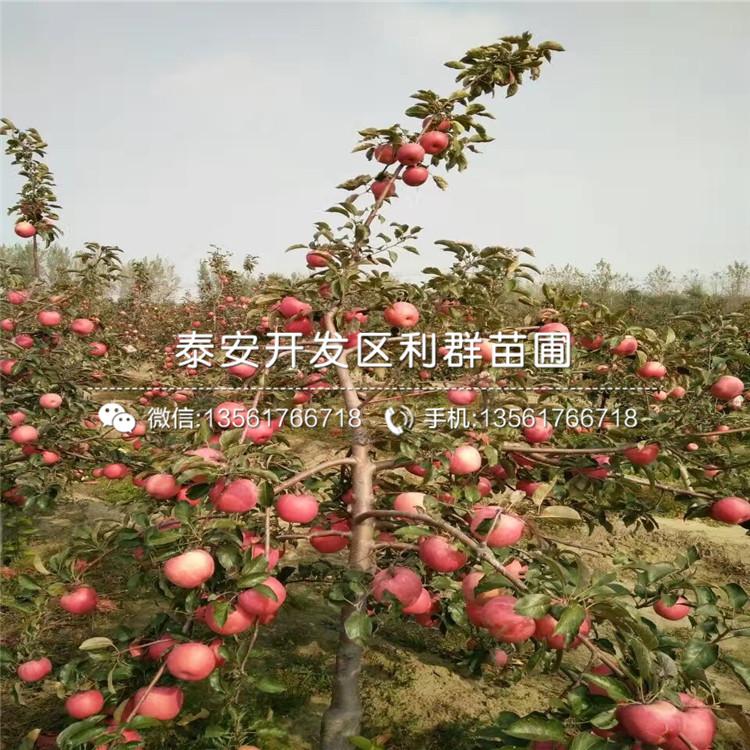 潤太一號蘋果樹苗新品種、潤太一號蘋果樹苗價格及基地