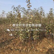 美国红蛇果苗、美国红蛇果苗出售基地