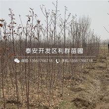美国八号苹果树苗、美国八号苹果树苗价格及报价