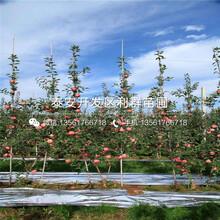 批发秦脆苹果树苗、秦脆苹果树苗基地图片