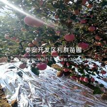 蜜脆蘋果樹苗、蜜脆蘋果樹苗報價及基地圖片