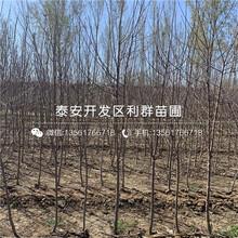 山东苹果树苗新品种、山东苹果树苗价格及基地图片