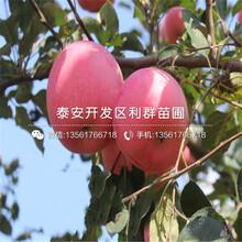 黄香蕉苹果树苗新品种、黄香蕉苹果树苗多少钱一棵图片