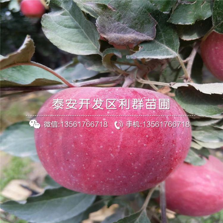山东弘前富士苹果苗、山东弘前富士苹果苗价格及报价