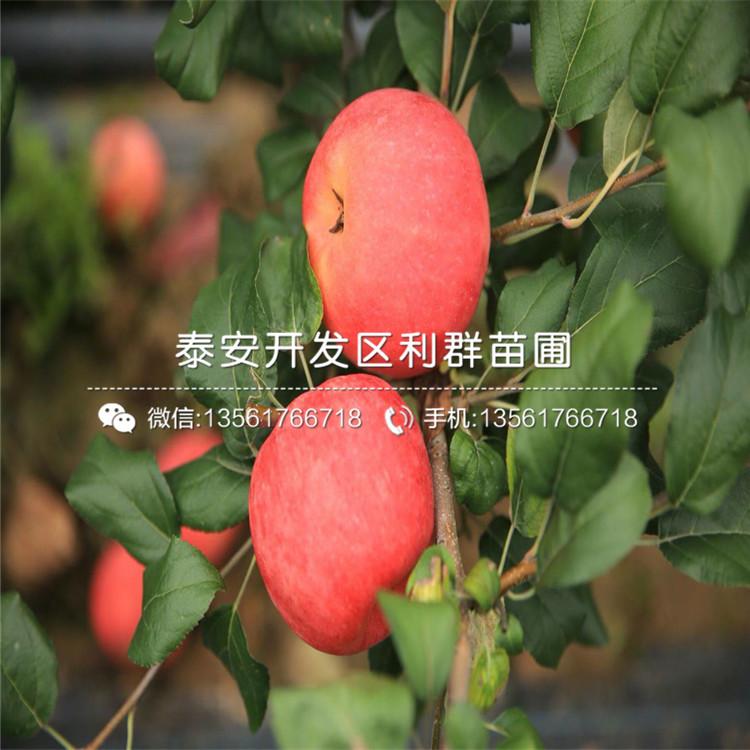 煙富8號蘋果苗、煙富8號蘋果苗價位