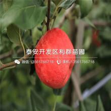 红心苹果苗价格、红心苹果苗基地图片