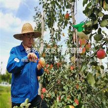 长枝红富士苹果树苗出售、长枝红富士苹果树苗基地