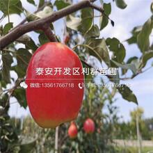 2020年明月蘋果樹苗、2020年明月蘋果樹苗價格圖片