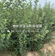 出售国光苹果苗、出售国光苹果苗价格及报价图片