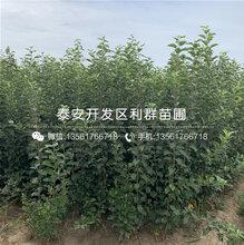 响富苹果树苗、响富苹果树苗批发基地