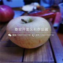 富士苹果树苗、富士苹果树苗批发基地图片